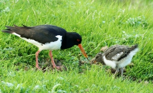 An adult Oystercatcher providing food for a growing chick (Tómas Gunnarsson)