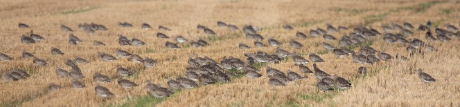 On autumn high tides, flocks of Curlew roost on east coast stubble fields (© Graham Catley)