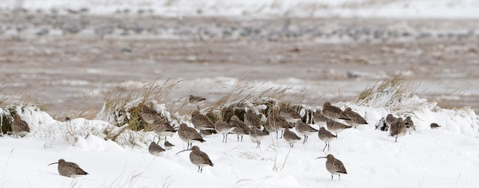 Curlew mortality is higher in severe winters (© Graham Catley)