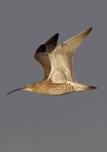 Curlews fly vast distances to spend the winter on the estuaries of Britain & Ireland (© Graham Catley)