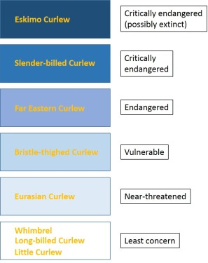 Threat levels for the eight members of the Curlew family (based on IUCN BirdLife assessments)