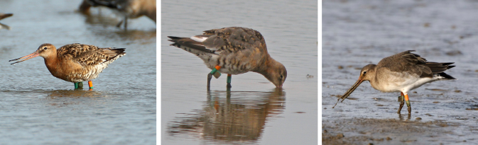 Godwit moulting