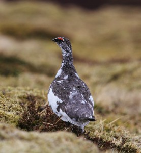 Ptarmigan is another montane species that will be targeted by