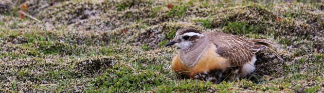 Male Dotterel brooding chicks: Alistair Baxter