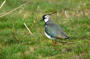 In open grassland, Lapwings can keep an eye out for approaching predators: Richard Chandler