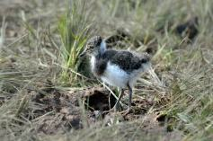 Lapwing chick: Richard Chandler
