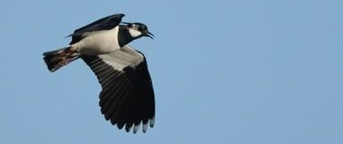 Lapwing in flight: Richard Chandler