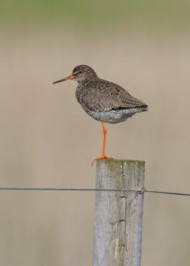 Redshank also benefit for management designed to support Lapwings and probably appreciate the shared look-out duties Photo: Richard Chandler
