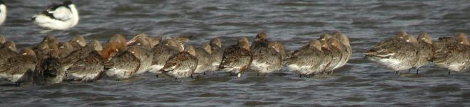 Flock of Black-tailed Godwits at Cley: Pat Wileman