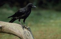 Carrion crow Andy Hay rspb-images