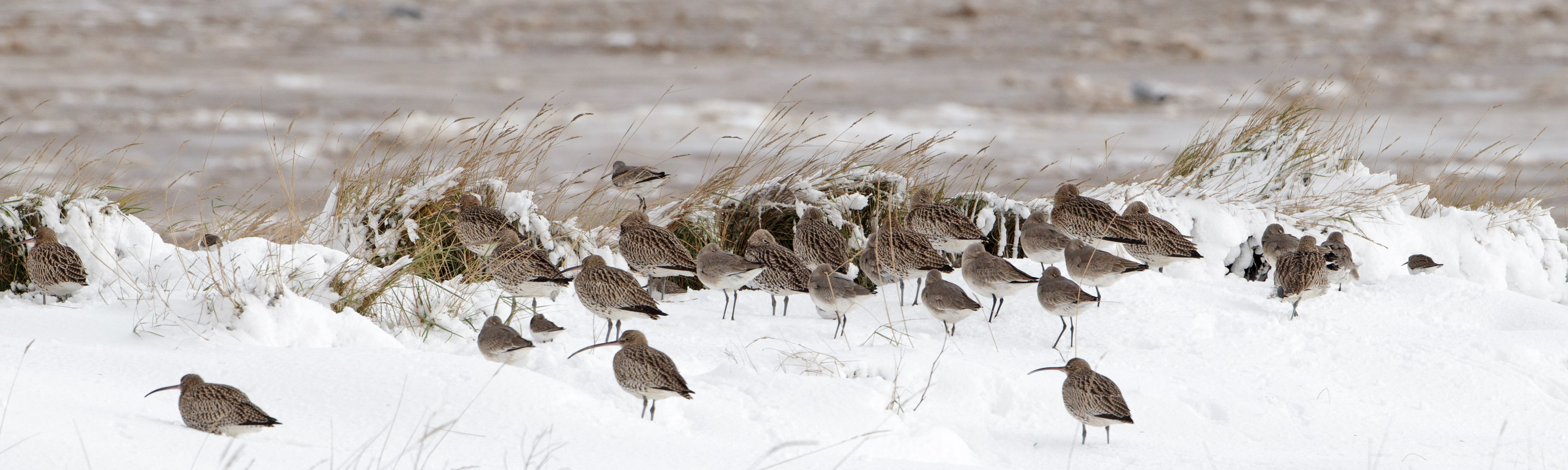 Curlew in snow