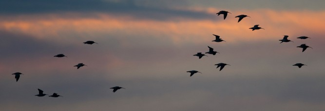 Dark times lie ahead for Curlew? (© Graham Catley)