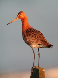 Are individual Black-tailed Godwits arriving earlier each spring? (Photo: Nigel Clark)