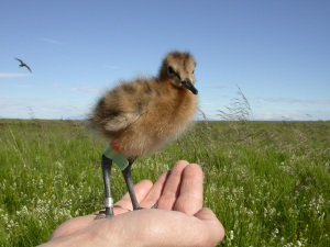 Most of the godwit chicks were ringed by groups of volunteers led by Pete Potts and Ruth Croger (Photo: Tómas Gunnarsson)