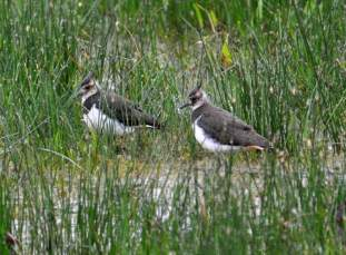Lapwing Fledglings
