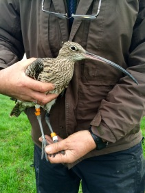 Colour ringed Curlew by Kane Brides