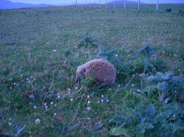 Hog on machair (JC)