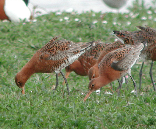 Black-tailed Godwits 17.4.02 d