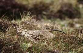 curle 004 (nest) (Derek Belsey) (A)