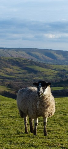 sheep P1240564