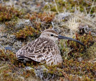 nesting whimbrel