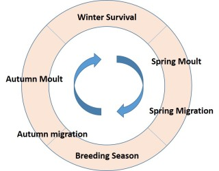 MOULT CYCLE