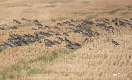 Moulting Curlew