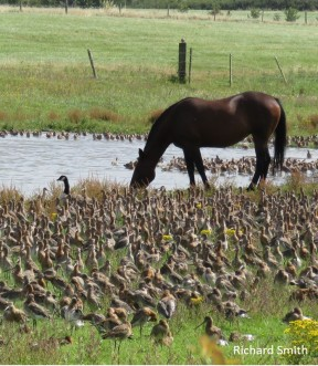 horse-and-flock