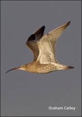 b-curlew