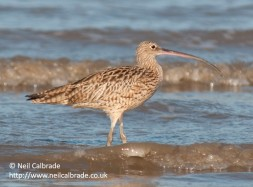 far-eastern-curlew
