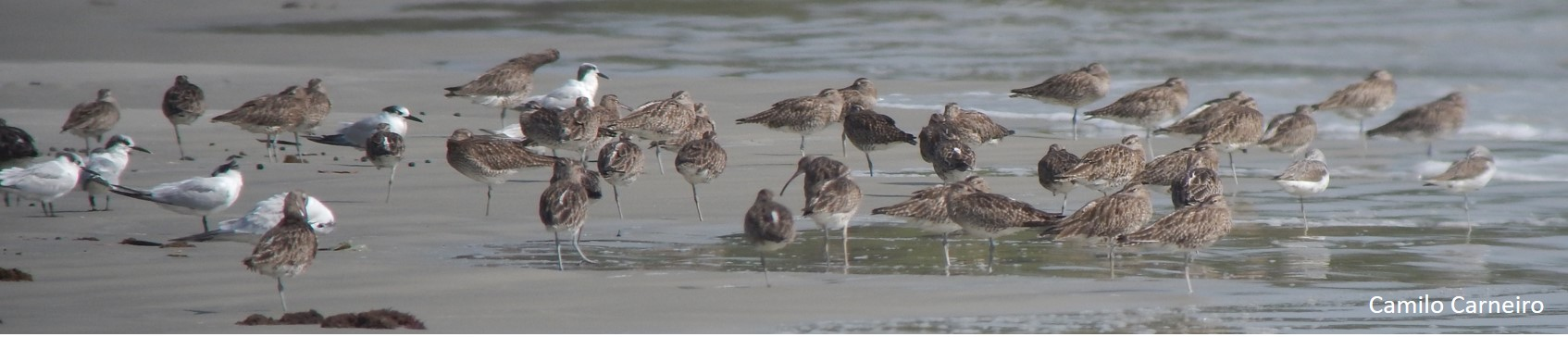 gambia-whimbrel