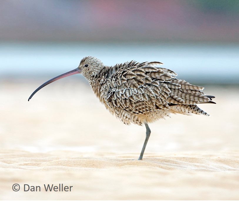 FE Curlew standing