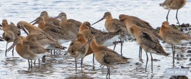 juvvy blackwits