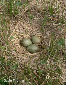 nest in short vegetation