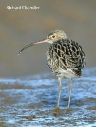 RC single bird muddy edge