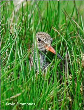 KS Redshank