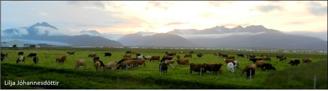 blog cows