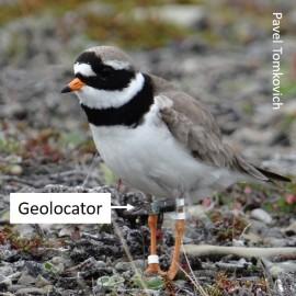 RP geolocator
