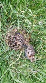 Remi's chicks