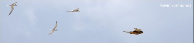 blog 3 terns 1 kestrel