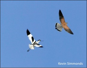 blog avocet kestrel