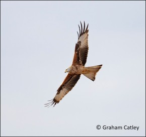 blog red kite
