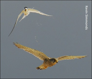 blog Tern and Kestrel