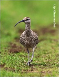 blog whimbrel