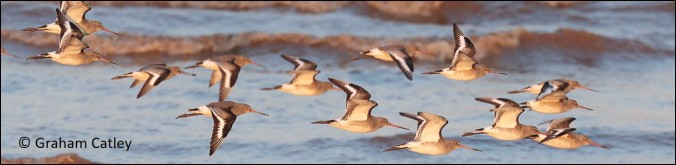 blog flying godwits