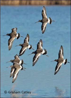 blog top godwits