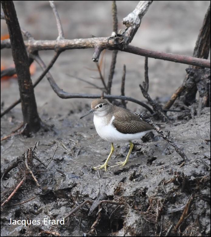 blog mangrove