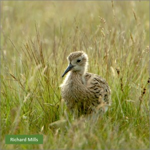 pic Curlew