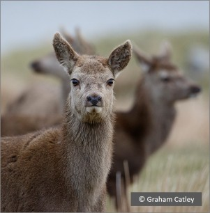 pic red deer