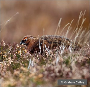 pic Red Grouse